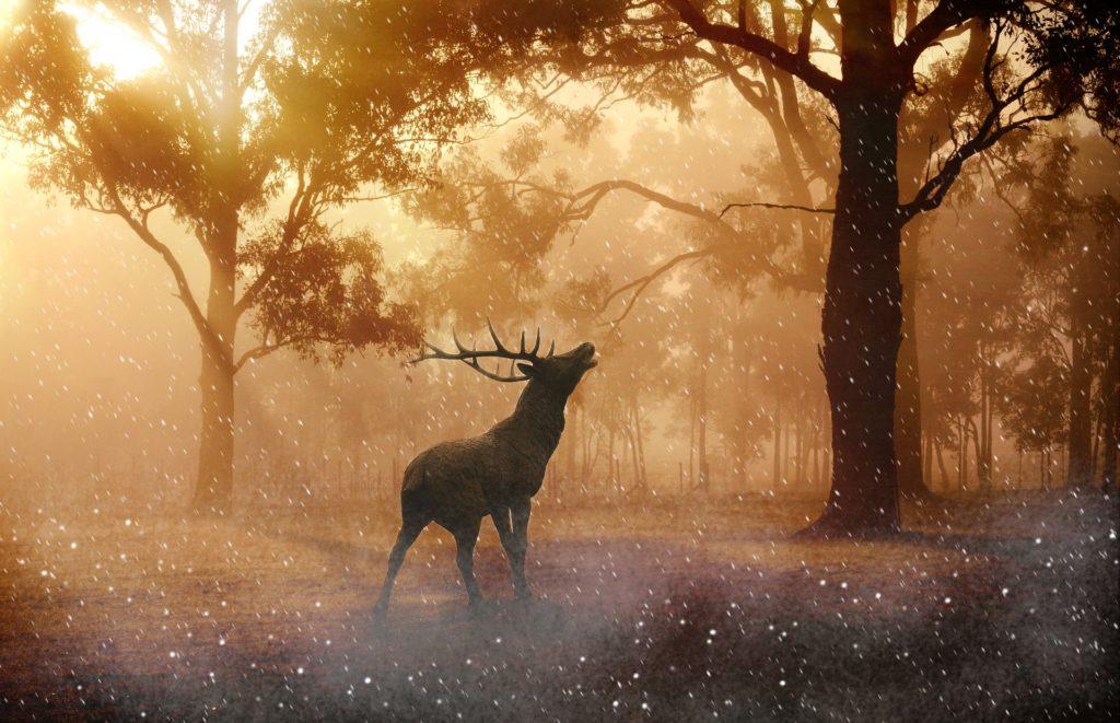 Szarvasbőgés - erdőtelepítés után legalább 100 évvel